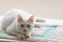 White Cat With Amber Eyes Look...