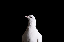Close-up Of A White Dove On A Dark Background. A White Dove Looks At The Camera. The White Dove Is A Symbol Of Peace, Purity, Love, Serenity, Hope.