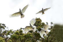Sulphur-crested Cockatoo's In ...