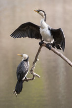 Little Pied Cormorant Drying W...