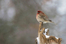House Finch, Haemorhous Mexica...