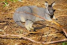 Australian Wallaby Kangaroo At A Park In Perth, Australia
