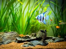 Zebra Angelfish (Pterophyllum ...