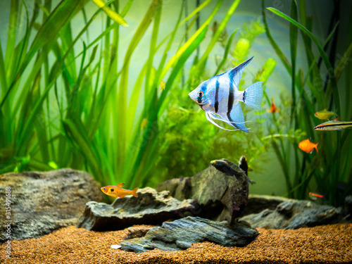 zebra Angelfish (Pterophyllum scalare) in a tropical aquarium Canvas Print