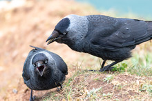 Jackdaws On Cliff