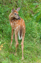 Fawn White Tailed Deer In The Forest