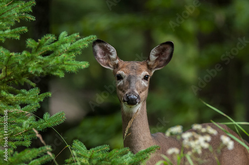 doe whitetailed deer in the forest Wallpaper Mural