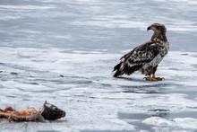 INMATURE BALD EAGLE ON ICE