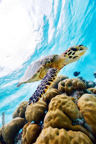 Fotografia Hawksbill sea turtle