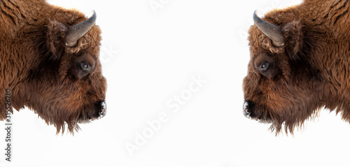 Fotografie, Obraz Two brown bull or bison heads with brown horns opposite each other before a fight on the New York Wall Street Stock Exchange on a white banner