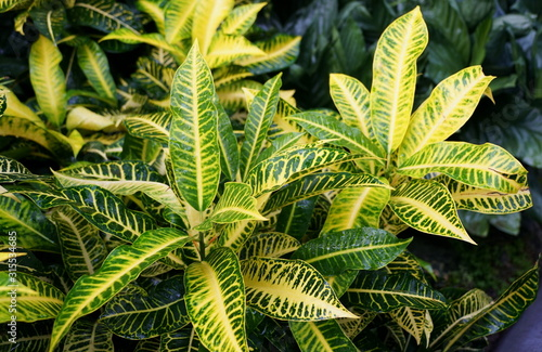 Yellow and green foliage of Croton 'Harvest Moon' plants
