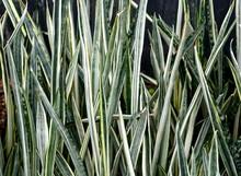 Snake Plant 'Bantel's Sensatio...