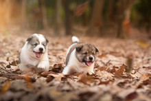 Two Puppy Dogs Playing Together Outdoors In Autumn Season.Together Concept.