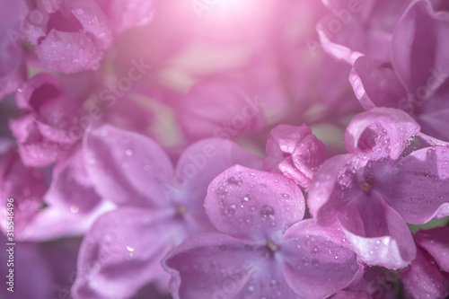 Springtime bunches of lilac blossoms on branches