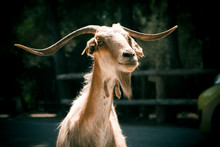 Portrait Of A White Goat With ...