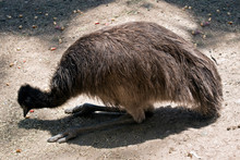 The Young Emu Is Eating