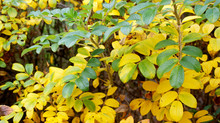 Rosehip Bush With Yellowing Le...