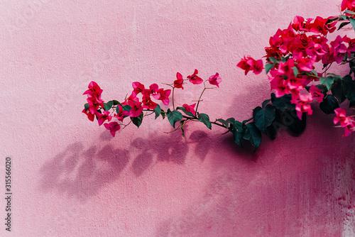Tela Blooming magenta bougainvillea flowers