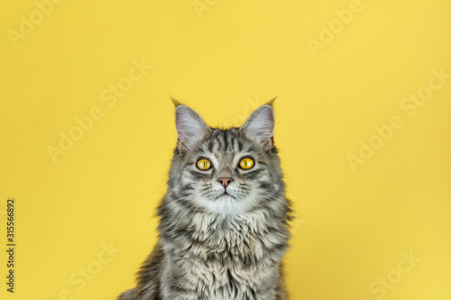 Obraz na plátne Portrait of a cat with a camera look in front of a yellow background