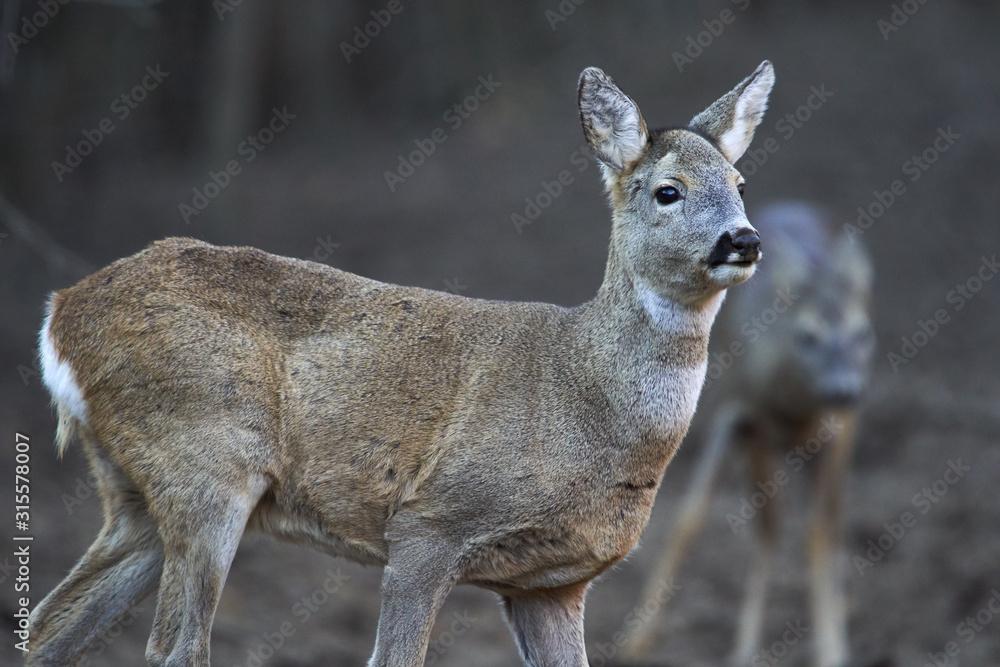 Fototapeta Group of roe deer and buck