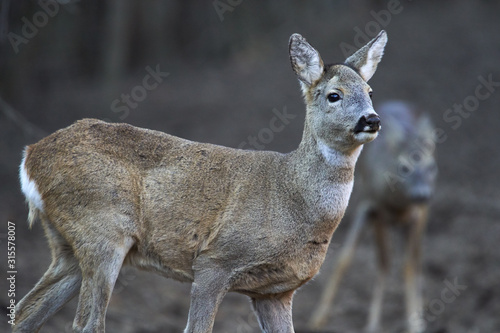 Fototapeta Group of roe deer and buck obraz