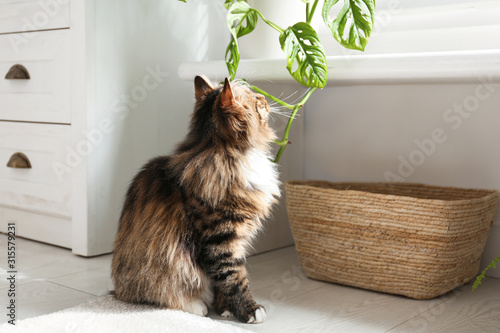 Fototapety, obrazy: Adorable cat playing with houseplant at home