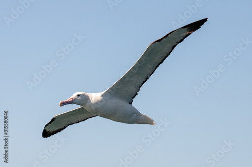Vászonkép Northern Royal Albatross