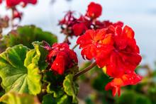 Sunrise In Tuscany, Italy With Clouds Covering Blanketing Town And Focus On Red Geranium Flowers In Foreground Macro Closeup Showing Texture