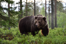 Big Male Bear Powerful Pose In The Forest