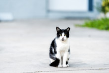 Stray Black White Cat With Gre...