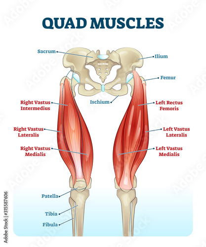 Fotografie, Tablou Quad leg muscles anatomy labeled diagram, vector illustration fitness poster