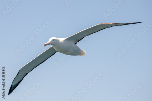Fotografija Southern Royal Albatross
