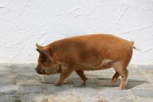 Kune Kune Schwein (Sus Scrofa Domesticus), Schweinerasse, Neuseeland
