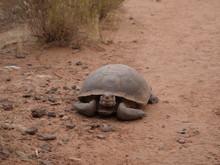 Red Dessert Tortoise 3
