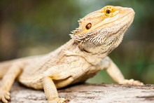 Pogonas Are A Genus Of Reptile...