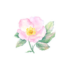 Watercolor Drawing Of Rose Hip...