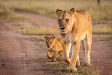 Lioness And Cub Walk Along San...