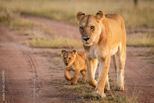 Lioness and cub walk along sandy track Canvas Print