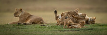 Lioness Lies Beside Sister Mob...