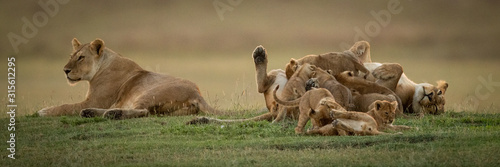 Photo Lioness lies beside sister mobbed by cubs