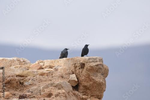 Blue rock thrush in the Al Karak Fortress in Jordan Fototapet