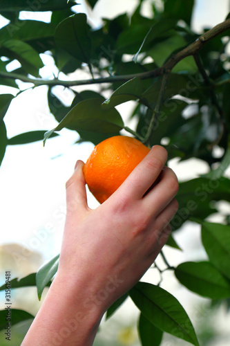 Canvas Print Picking oranges in the orchard