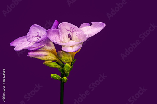 Fotografie, Obraz Vintage painting style surreal violet pink freesia blossom pair and buds, dark v
