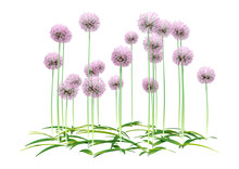 3D Rendering Allium Flowers On...