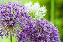 Czosnek Kwiat Ogród