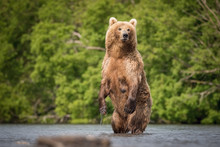 The Kamchatka brown bear, U...