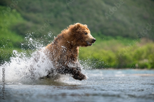 Foto The Kamchatka brown bear, Ursus arctos beringianus catches salmons at Kuril Lake