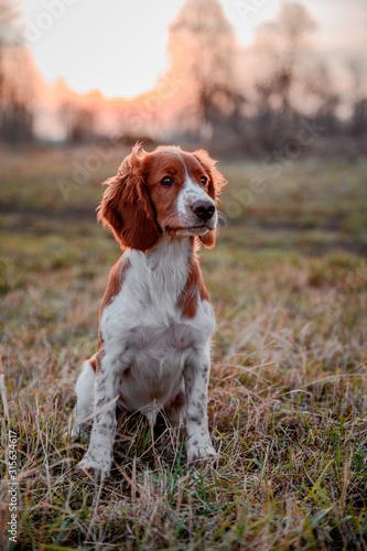 Obraz Cute little puppy of welsh springer spaniel breed. Dog portrait on meadow. - fototapety do salonu