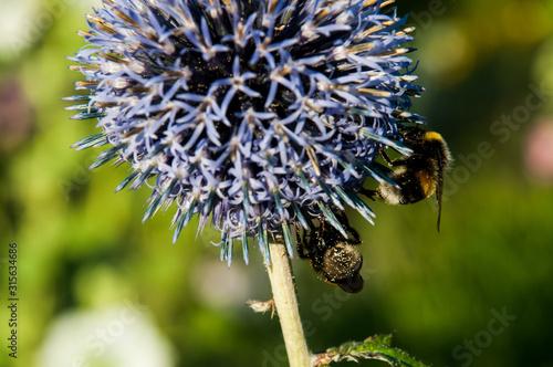 Fototapeta Trzmiele kwiat łąka ogród przegorzan  obraz