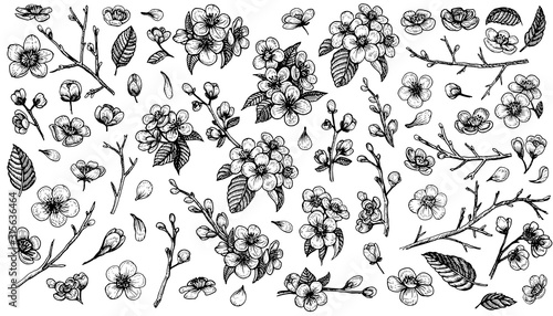 Canvastavla  Blooming cherry vector, sketch elements